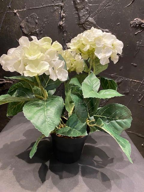 Silkkikukat, ruukku hortensia, valkoinen