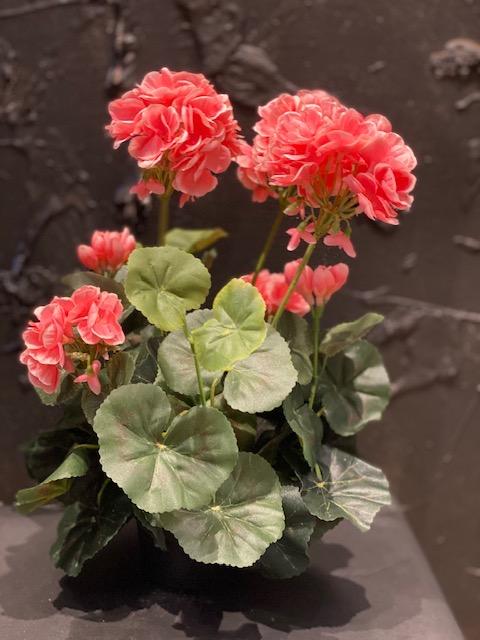 Silkkikukat, Pelargonia,  vaaleanpunainen
