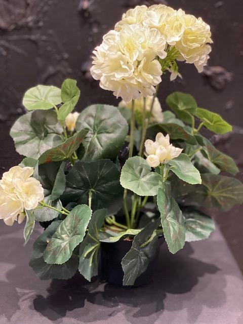 Silkkikukat, Pelargonia,  valkoinen